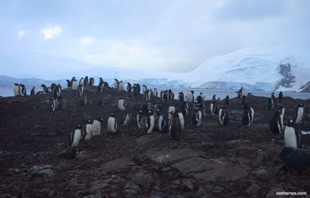 Gentoo penguins. Lots of them.