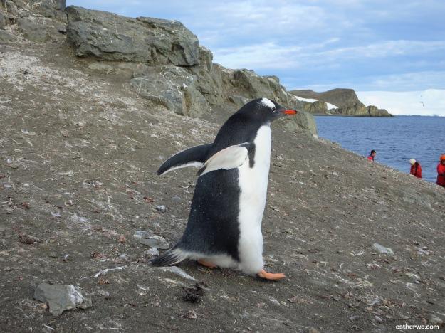 Busy penguins, always running around