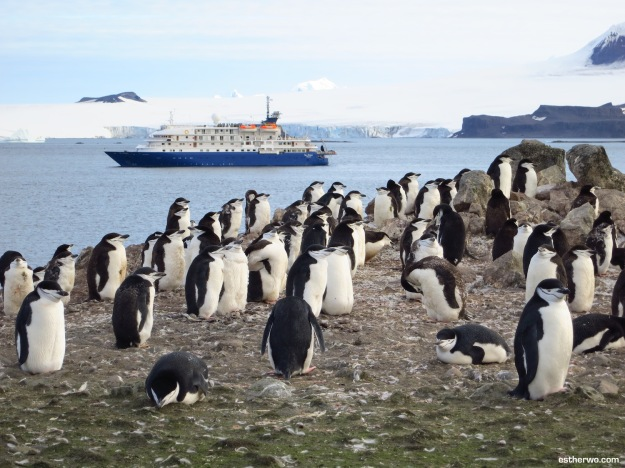Group of chinstrap penguins, and our lovely Sea Spirit in the back