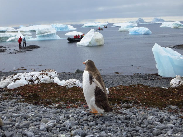 A curious gentoo penguin watching humans invade its space