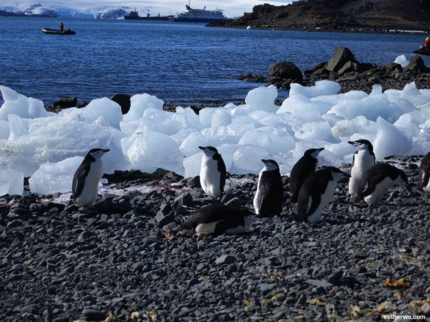 My favorite chinstrap penguins - so cute!